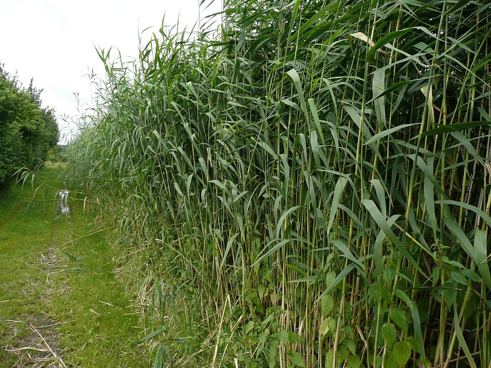 reed bed treatment